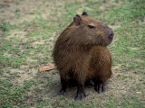 Capybara  South America