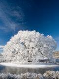 Hoar Frost on Willow Tree  near Omakau  Central Otago  South Island  New Zealand