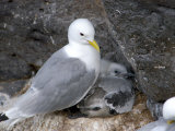 Anarstapi Fishing Village  Kittiwake  Snaefellsnes Peninsula  Iceland