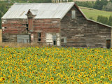 Sunflowers and Old Barn  near Oamaru  North Otago  South Island  New Zealand