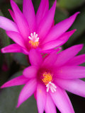 Sunrise Cactus Flowers