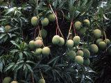 Mangoes  Fiji