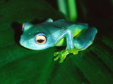 Madagascan Blue Tree Frog  Native to Madagascar