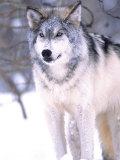 Timber Wolf  Utah  USA