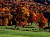 Field with Cows and Fall Color  Vermont  USA