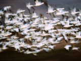 Snow Geese in Flight  Skagit Valley  Skagit Flats  Washington State  USA