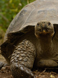 Galapagos Giant Tortoise  Highlands  Santa Cruz Island  Galapagos Islands  Ecuador