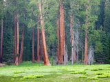 Giant Sequoia Trees  Round Meadow  Sequoia National Park  California  USA