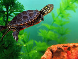 Red Belly Turtle Hatchling  Native to Southern USA