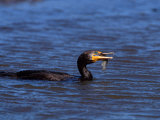Double-Crested Cormorant with Fish  Ding Darling National Wildlife Refuge  Florida  USA
