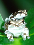 Amazon Cave Frog  Native to Northern South America