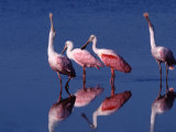 Four Roseate Spoonbills  Ding Darling NWR  Sanibel Island  Florida  USA