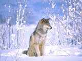 Timber Wolf Sitting in the Snow  Utah  USA