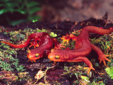 California Newt  Native to California  USA