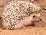 African Hedgehog  Native to Africa