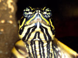 Red Belly Turtle Portrait  Native to Southern USA