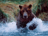 Alaskan Brown Bear in Katmai National Park  Alaska  USA