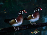 Two Male Wood Ducks  Florida  USA