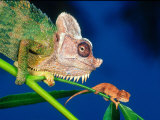 High Casque Chameleon with Young  Native to Eastern Africa