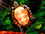 Painted Turtle  Native to Southern USA