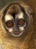 Owl Monkey  Panama