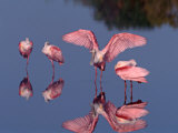 Four Roseate Spoonbills Standing in Shallow Water  Ding Darling NWR  Sanibel Island  Florida  USA