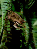 Masked Tree Frog on Fern  Highlands  Rancho Naturalista  Costa Rica