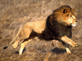 Male African Lion Running  Native to Africa