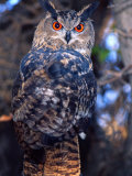Forest Eagle Owl  Native to Eurasia