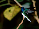 White-Necked Jacobin Hummingbird Perched on Branch  Rancho Naturalista  Costa Rica