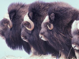 Herd of Muskoxen  Nunivak Island  Alaska  USA