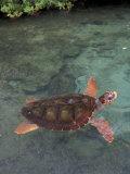 Green Sea Turtle  Bocas del Toro Islands  Panama