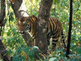 Tiger in Tree  India