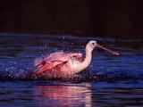 Juvenile Roseate Spoonbill Bathing  Ding Darling NWR  Sanibel Island  Florida  USA
