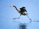 Reddish Egret Fishing  Ding Darling National Wildlife Refuge  Sanibel Island  Florida  USA
