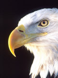 Bald Eagle Portrait  Native to USA and Canada