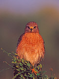 Red-shouldered Hawk in Early Morning Light  Everglades National Park  Florida  USA
