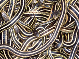 Canadian Garter Snake