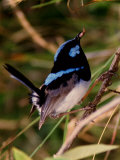 Superb Fairy-Wren or Blue Wren  Australia
