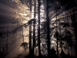 Sun Rays Through Trees  Olympic National Forest  Washington  USA