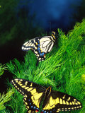 Anise Swallowtail Butterfly  California  USA