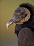 Black Vulture  Everglades National Park  Florida  USA