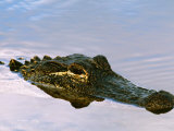 Alligator Lying in Wait for Prey  Ding Darling NWR  Sanibel Island  Florida  USA