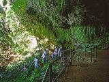 The Fern Grotto  Kauai  Hawaii  USA