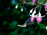 White-Necked Jacobin Hummingbird on Flower Nectar  Rancho Naturalista  Costa Rica