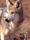 Mexican Wolf  Native to Mexico