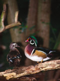 Wood Duck  Florida  USA