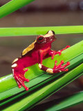 Clown Tree Frog  Native to Surinam  South America