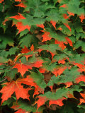 Sugar maple leaves in fall  Vermont  USA
