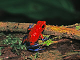 Strawberry Poison Dart Frog  Rainforest  Costa Rica